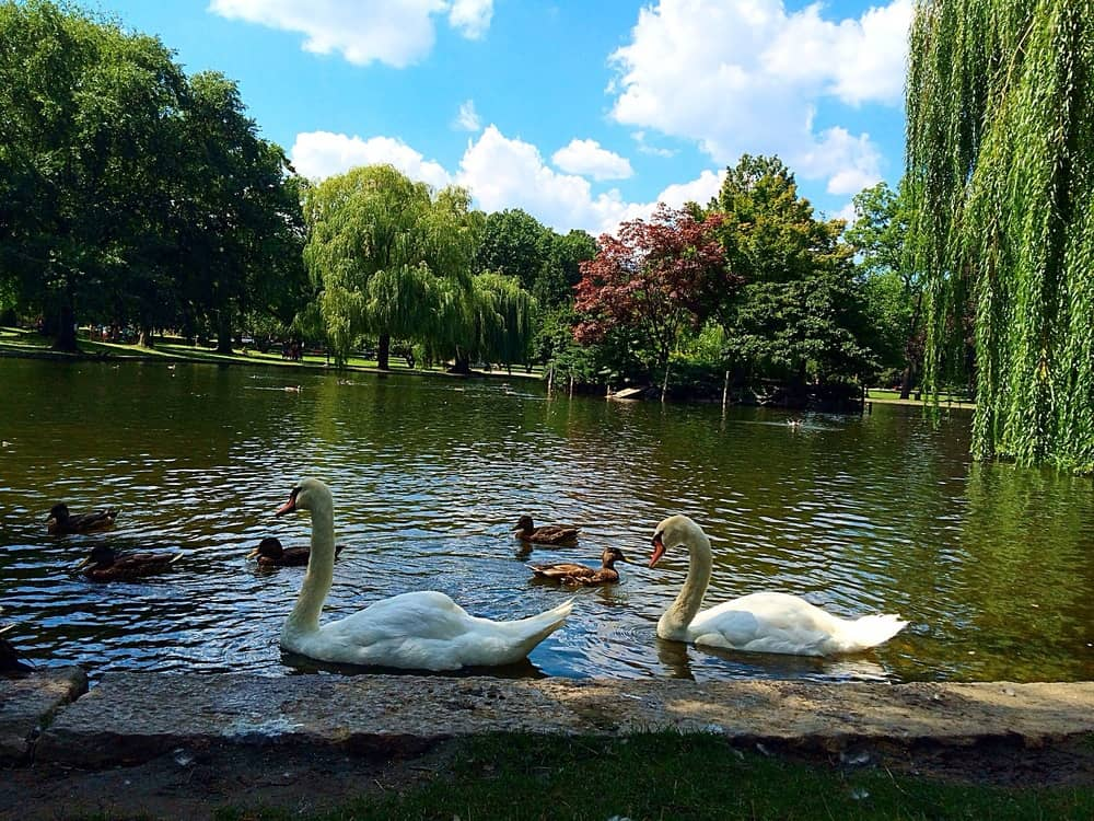 Swans, ducks, Weeping Willows, and blue skies.